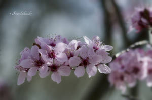 Blossoms (VI). by Phototubby