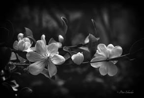 Magnolia (VI). by Phototubby