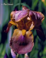 Iris (VII) by Phototubby