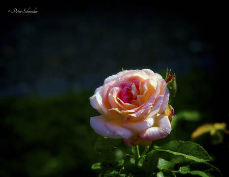 Roses (IV).