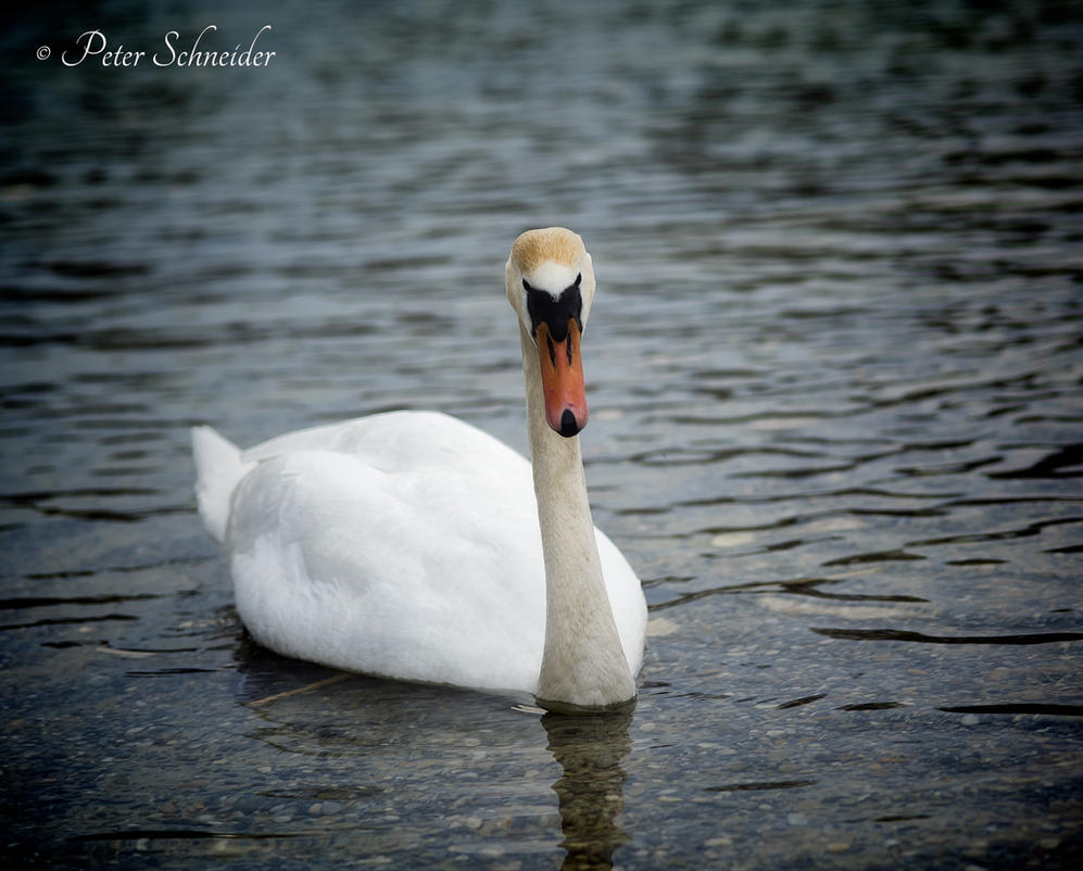 Swany. by Phototubby