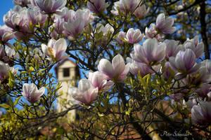 Magnolia (VII). by Phototubby