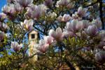 Magnolia (VII).