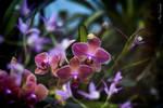 Orchids (V).