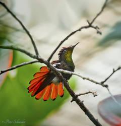 Flying jewel ( Mosquito hummingbird).