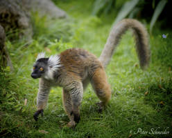 Eulemur macaco (II). by Phototubby