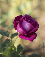 The la(o)st rose. by Phototubby
