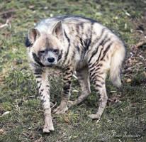 Striped hyena. by Phototubby