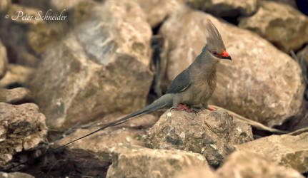 Blue-naped mousebird. by Phototubby
