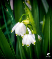 Spring bells. by Phototubby