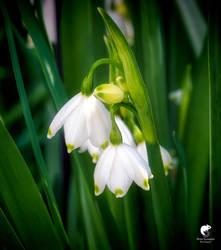 Spring bells.