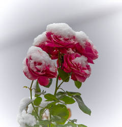 When the roses bloom in winter.
