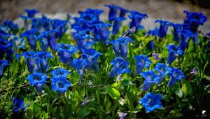 Blue springfield.
