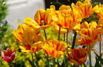 Tulip season (III).