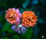 Barock from my garden (II).