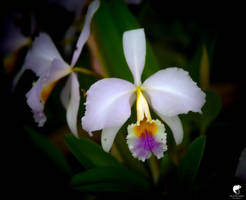 Orchids (II).