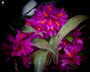Orchids (III).