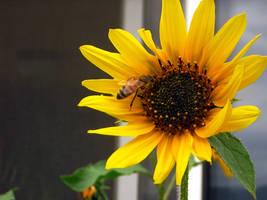 Sunflower No. 3