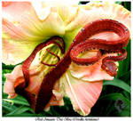 Red Amazon Tree Boa