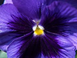 violet by cekelez