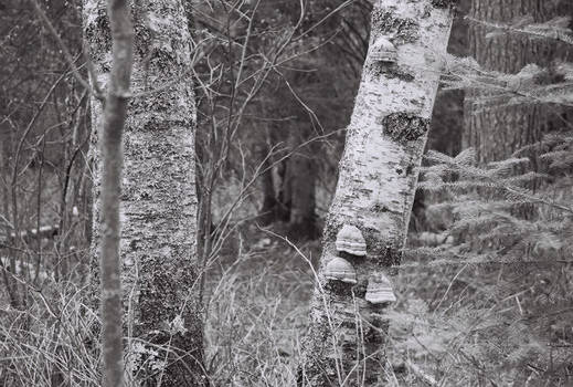 Looking through the Birches