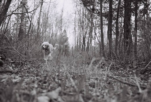 Blondie on a wooded path