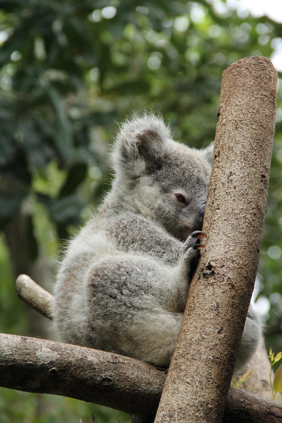 Baby koala 2 by bilbypdalgyte on deviantart - Pics of baby koalas ...