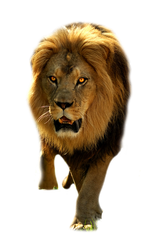 Lion2 by rahag