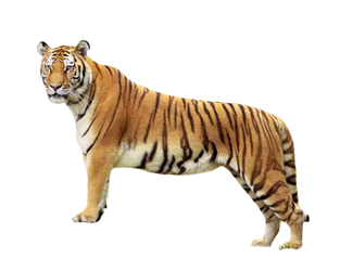 Tiger3 by rahag