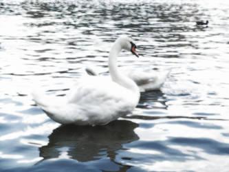 Swan by spyros07