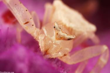 Brown Crab Spider by erezmarom