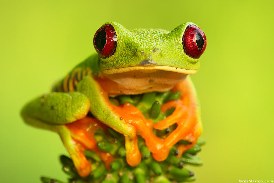 Queen of all Frogs by erezmarom
