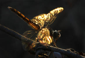 Golden Wings by erezmarom