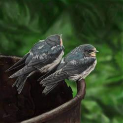 Fledgeling swallows