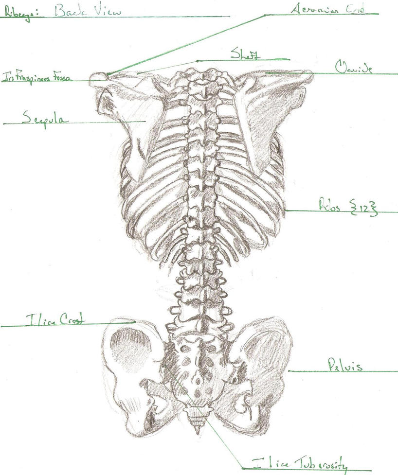 Rib Cage Posterior View by DCCourtJester