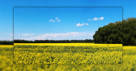 Canola Field 3 Picture Panorama