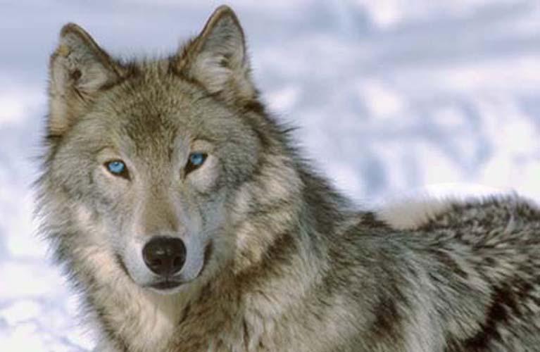 eye wolf: