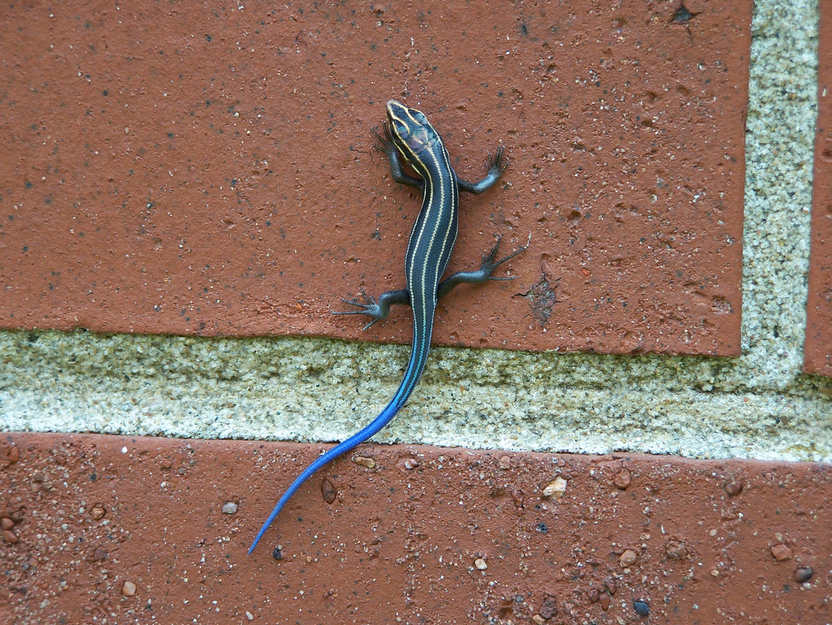 Blue-tailed Skink Facts, Habitat, Diet, Life Cycle, Baby ...  |Blue Tail Lizard