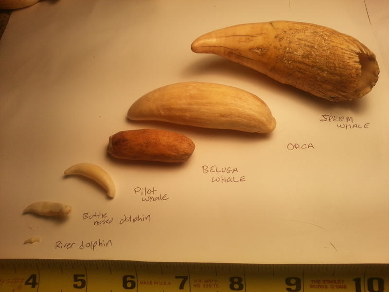 Cetacean Tooth Collect...