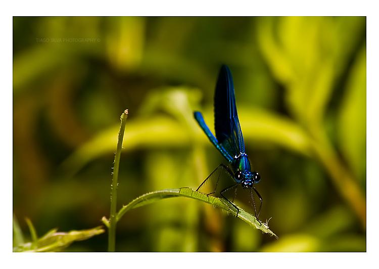 Libelinhas/Borboletas [3F] Dragonfly_1_by_tiagojsilva