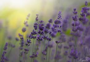 Lavenders blue by MyosotisPhoto