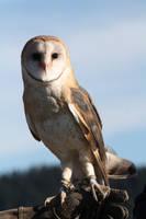 Barn Owl by DavidsPhotographyST