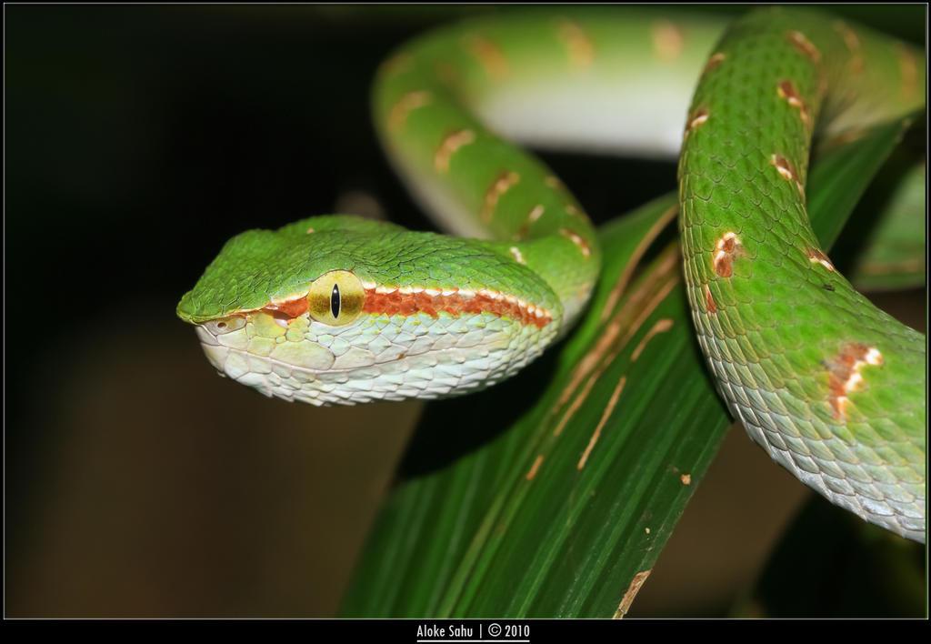 Tropidolaemus wagleri II by alokethebloke