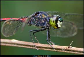 Agrionoptera insignis by alokethebloke