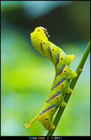 Acherontia lachesis - I by alokethebloke
