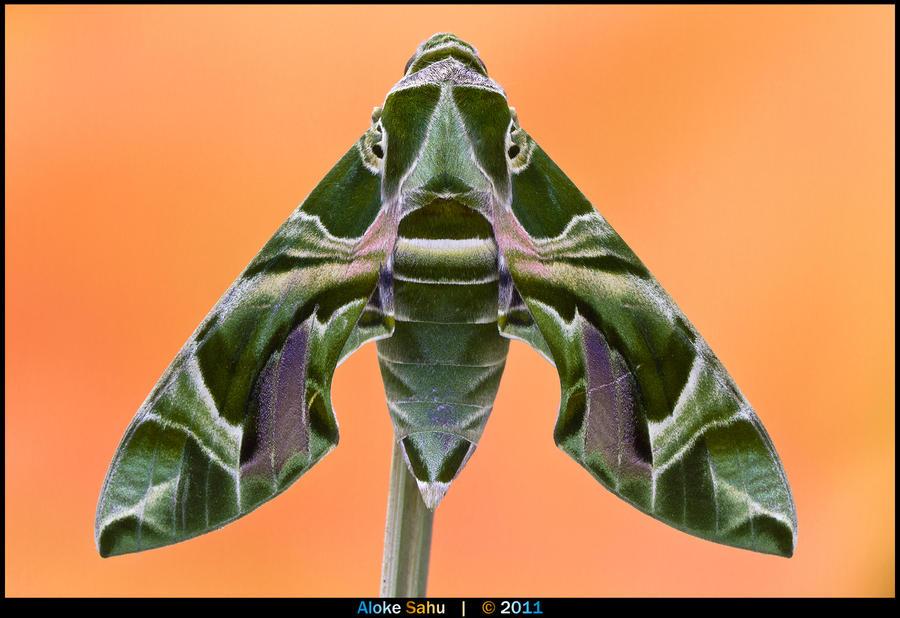 Oleander Hawk-moth - I by alokethebloke