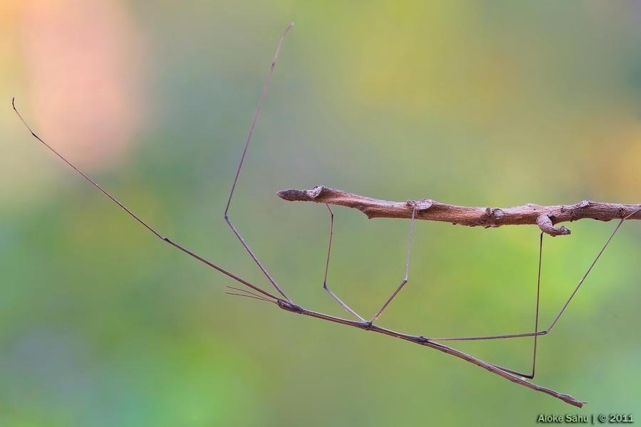 Stick Insect - I by alokethebloke