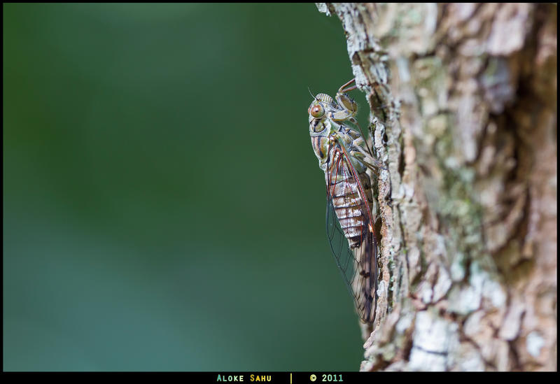 Green Cicada by alokethebloke