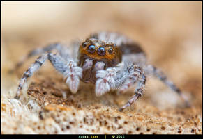 Jumping Spider - Unidentified by alokethebloke