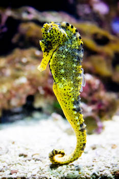 Stormy the seahorse
